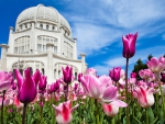 Beautiful Building and Tulip Garden