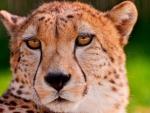 cheetah portriat