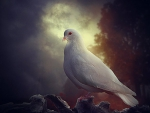 Pure white Dove