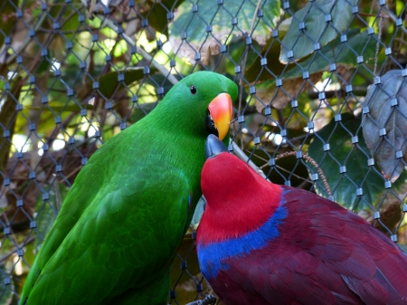 Noble Parrots - red, colorful, female, male, green, love, parrots, noble, couple, animals, pair, blue