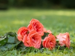 pink rose bouquet on the grass