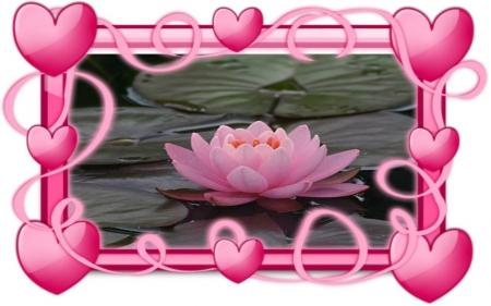 Pink Lotus Flowers Nature Background Wallpapers On Desktop Nexus