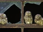 Owls in the Window