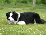 Black Border Collie
