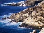 coastal sealions