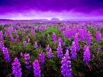 LUPINE FIELDS