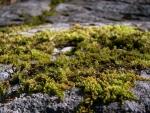 Moss - stone