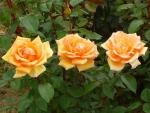 Triple Orange Roses