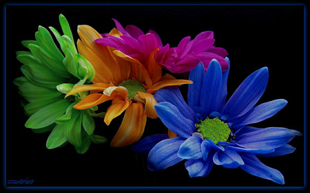 A rainbow daysies - flowers, colors