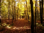Forest Path of Autumn Leaves