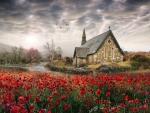 Poppies in Ireland