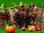 Autumn Siberian Kitten