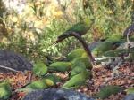 Emerald Parrots