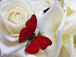 Red Butterfly on the Lovely Roses