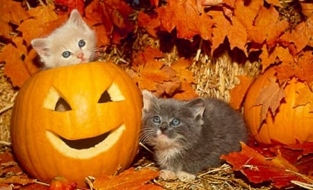 Two Kittens And Halloween Pumpkins Cats Animals Background