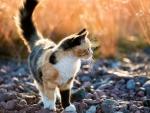 Calico Kitten F