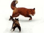 Calico Meets Red Fox F