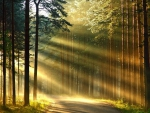 Light Rays In The Forest