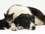 Collie And Kitten.