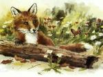 Red Fox in Spring F
