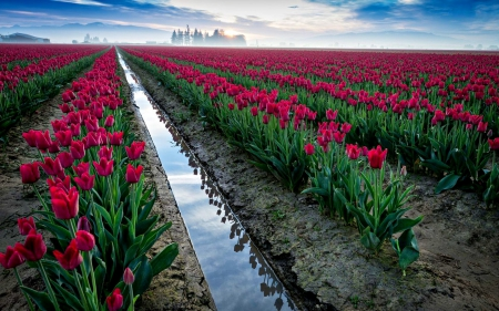 TULIPS FIELDS - red, colors of nature, sky, clouds, splendor, flowers, nature, fields, lovely flowers, tulips, flowers paradise, landscape