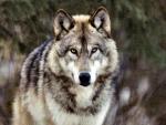 Alaskan Grey Wolf f