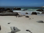 African Penguin Colony, Boulders Beach, ZA