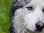 Beautiful Wet Siberian Husky