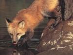 Fox II.
