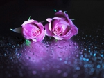 Violet Roses Together