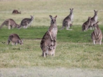 A troop of Kangaroos