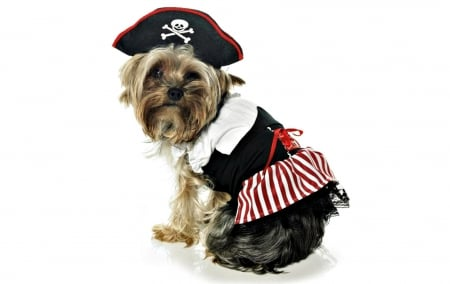 Waiting for Halloween - red, halloween, black, pirate, hat, cute, funny, white, costumen, puppy, dog