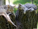 cat and kitten sleeping on a log