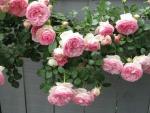 rose garden fence