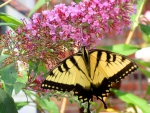 Visit of the Swallowtail