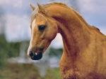 Palomino Horsehead 1