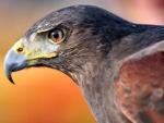 Golden Eagle f