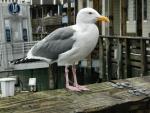 California Blood Gull