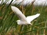Snowy Egret in the Tullies f