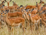 herd of female impala