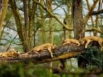 sleeping lions