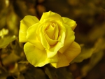 Lovely Yellow Rose