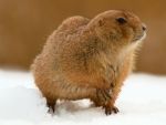 prairie dog in snow