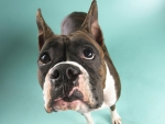 mallorquin bulldog
