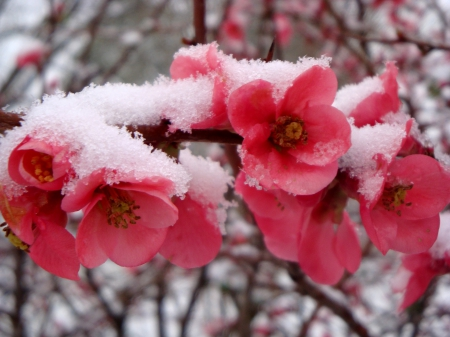 FIRST SNOW - cherruy blossoms, nature, snow, winter