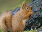 portrait of a red squirrel eating
