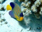 desjardinii sailfin tang fish