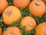 pumpkins and clover
