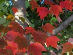 A Red Maple Tree in Autumn