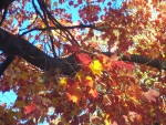 A Fistful of Red Maple Leaves